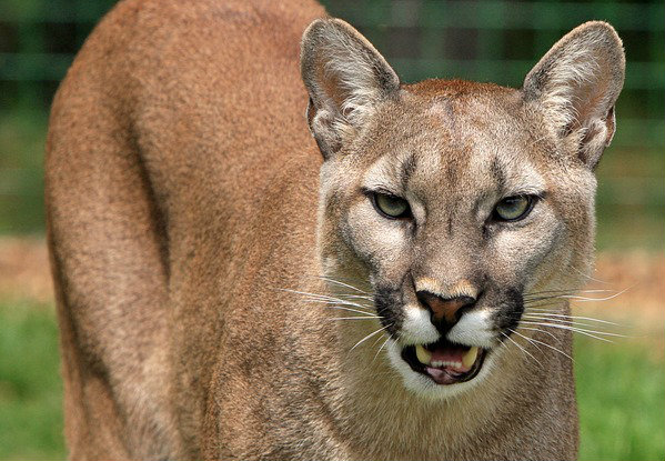Mountain lions spotted on campus