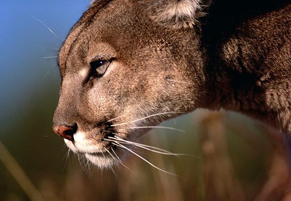 Mountain lion roams campus
