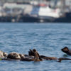 Sea otter populations are rising on the Central Coast