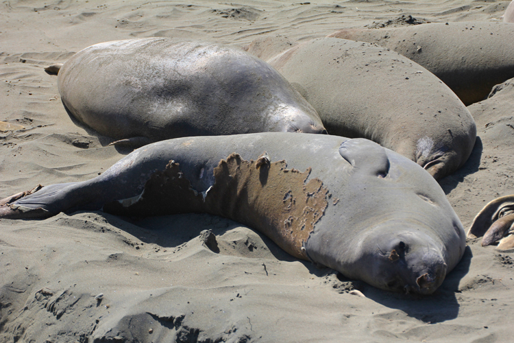 Catastrophic molt in elephant seals, Piedras Blancas Elephant Seal Rookery.