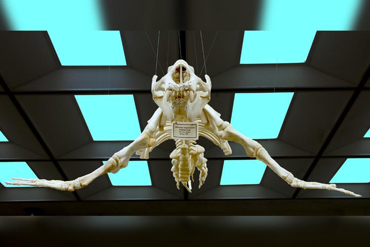 Northern elephant seal skeleton, Cuesta College biology department.