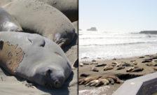 Elephant seals come ashore for annual molting ritual