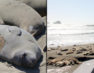 Elephant seals come ashore for annual molting ritual
