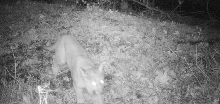 Cougars caught on camera